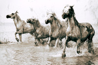 Camargue Horses, 'Running Home'