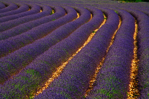 FRANCE, PROVENCE, LAVENDER FIELD