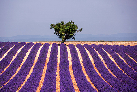 LAVENDER AND TREE, PROVENCE