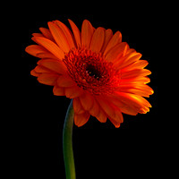 GERBERA, (Colour)